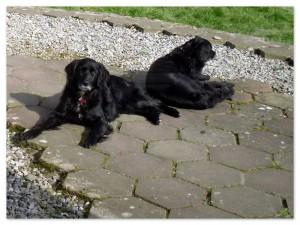 Two black Setter-Collies enjoying the sunine