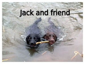 Two dogs swimming clutching the same stick