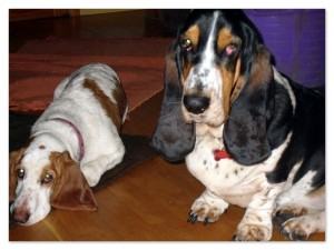 Two placid Bassett Hounds sitting on the floor