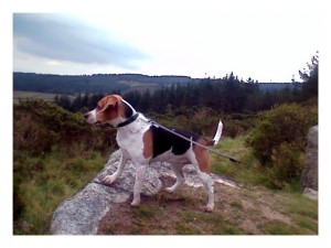 A Beagle on a high rock looking out over a gorge